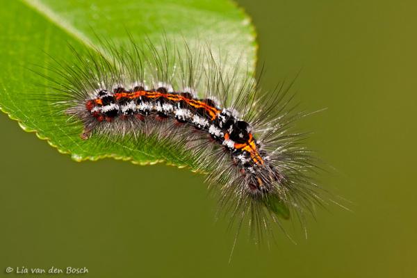 foto van een rups van de donsvlinder