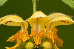 Yellow archangel   Gele dovenetel