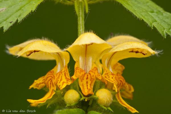 Foto van de bloem van een gele dovenetel