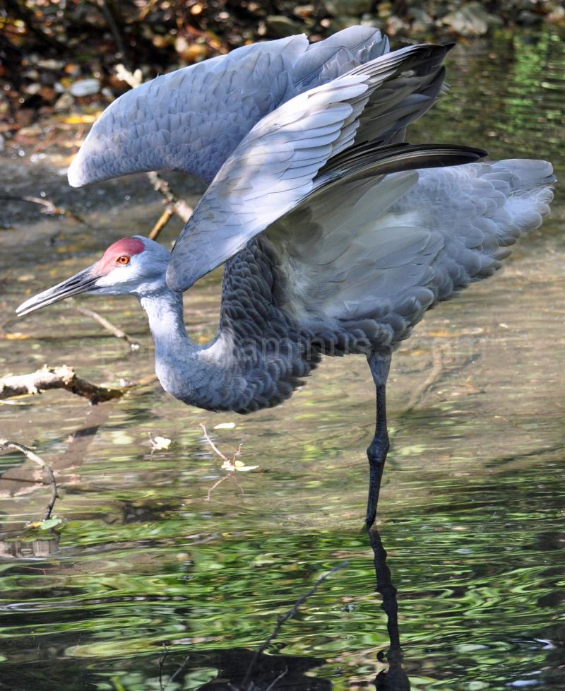 sandhill crane in a pond