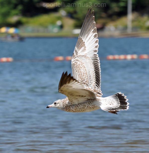 seagull in flight over water