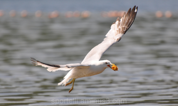 seagull in flight with food in beak