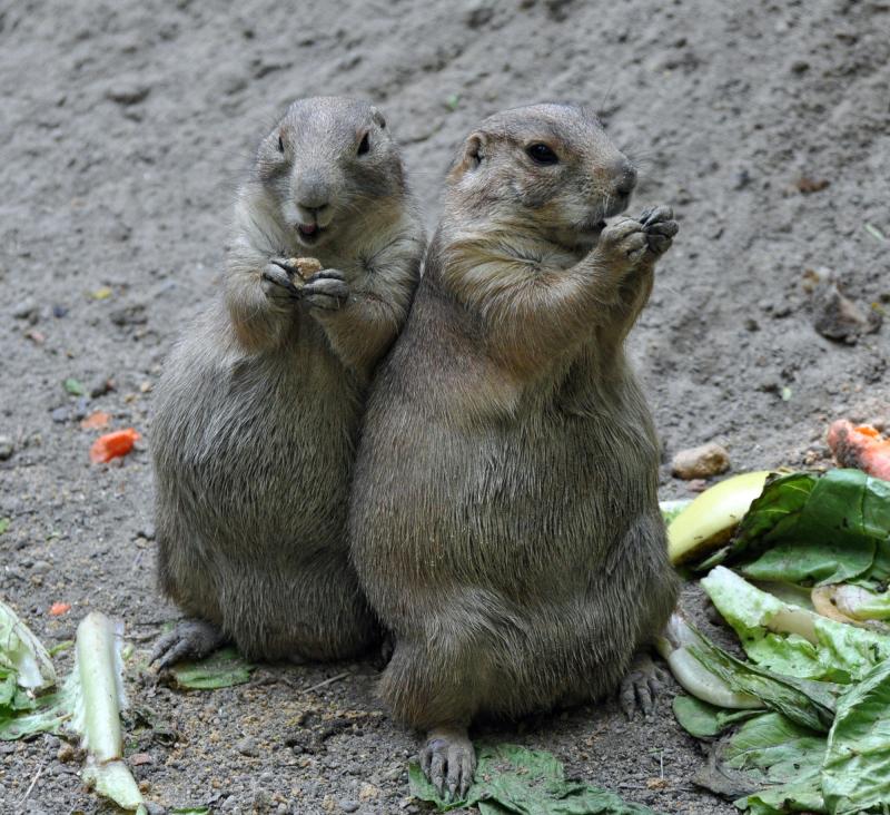 Prairie dogs eating