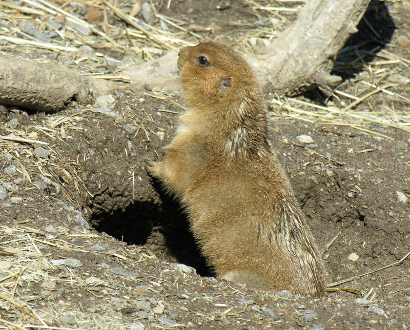 prairie dog checking the weather