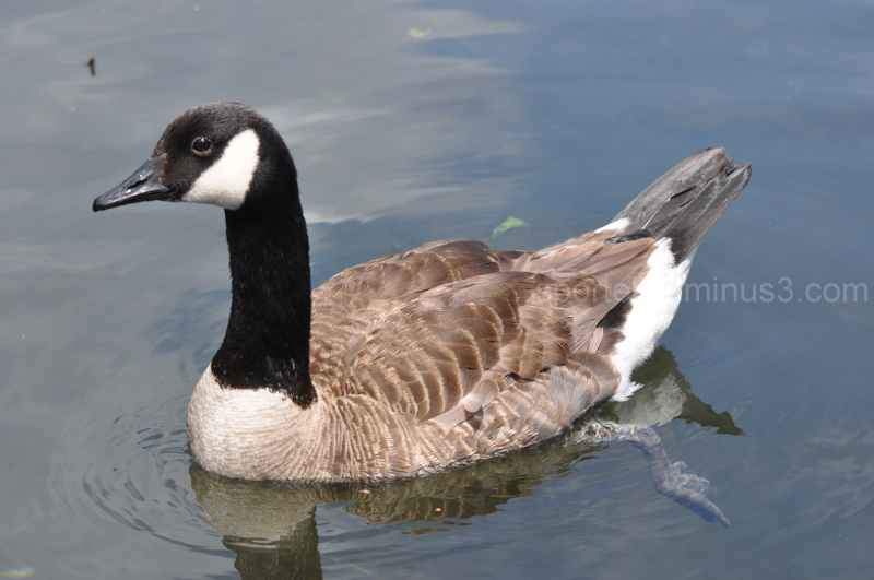 Canadian goose just floating by