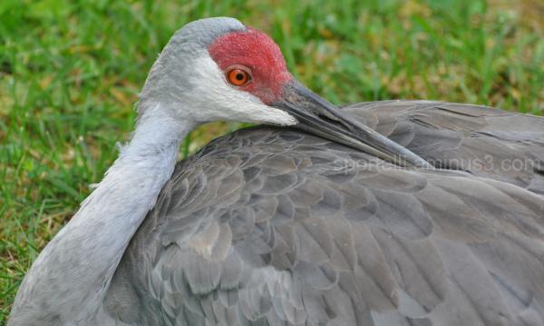 resting sandhill crane