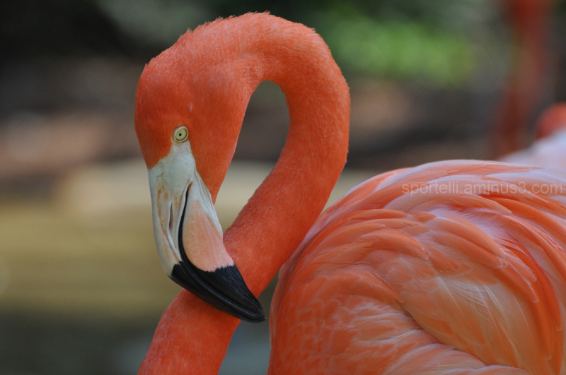 close up of an american flamingo