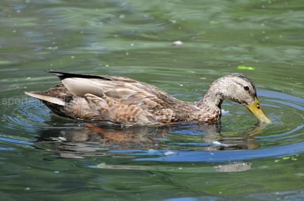 duck drinking water