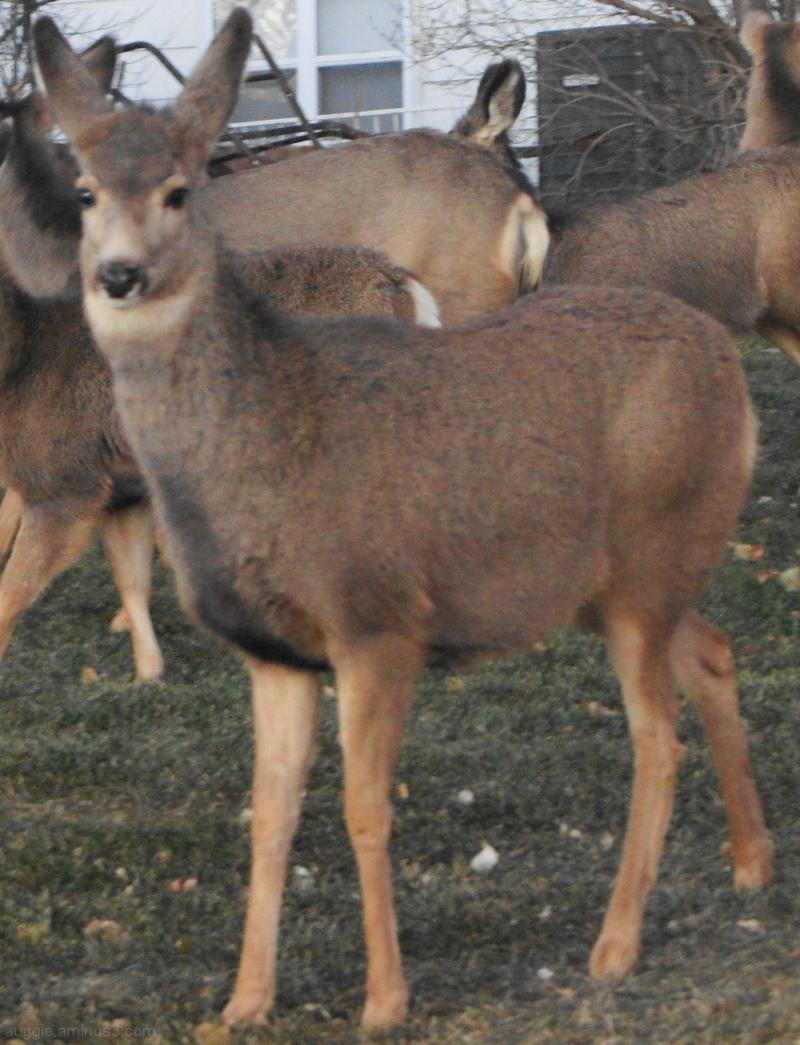 Neighborhood Deer
