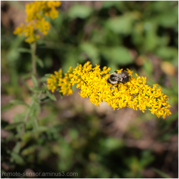 bee with goldenrod