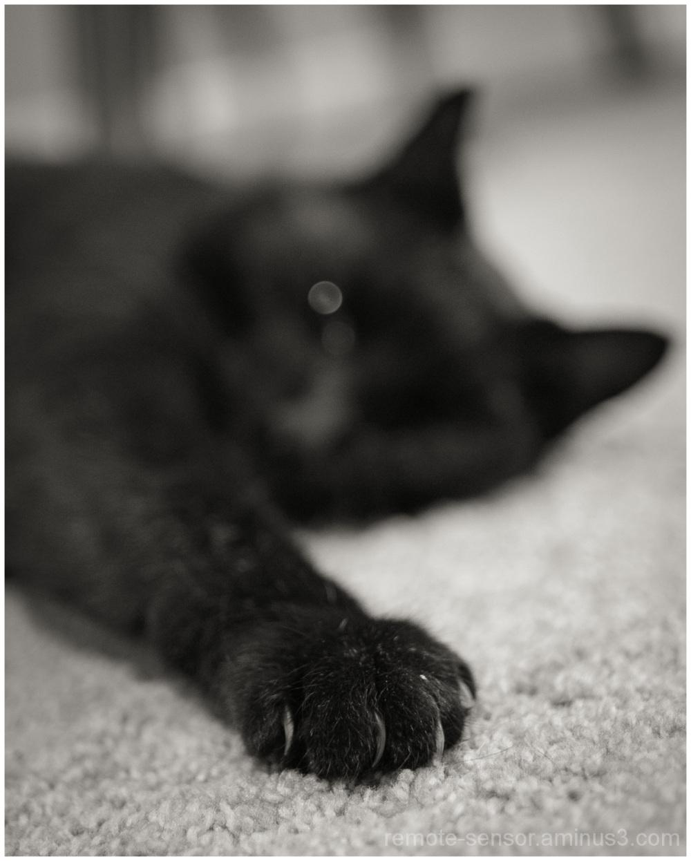 mr pablo the scary black cat