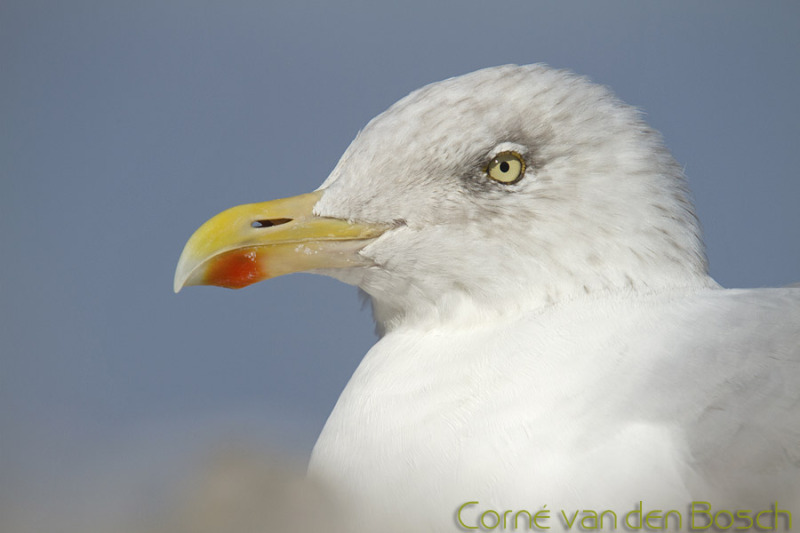 European Herring Gull - Zilvermeeuw