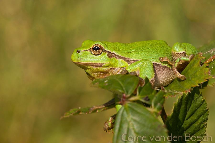 Tree frog - Boomkikker
