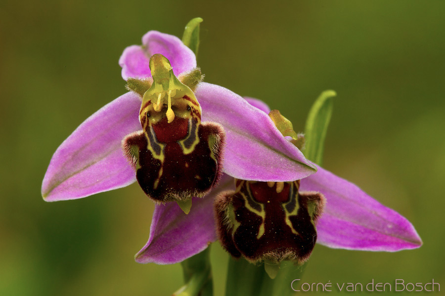 Bee Orchid - Bijenorchis