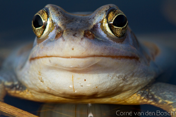 Moor frog - Heikikker
