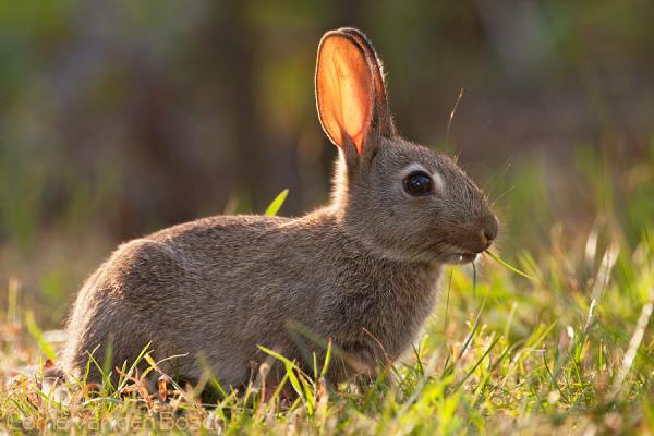 Wild rabbit - Konijn