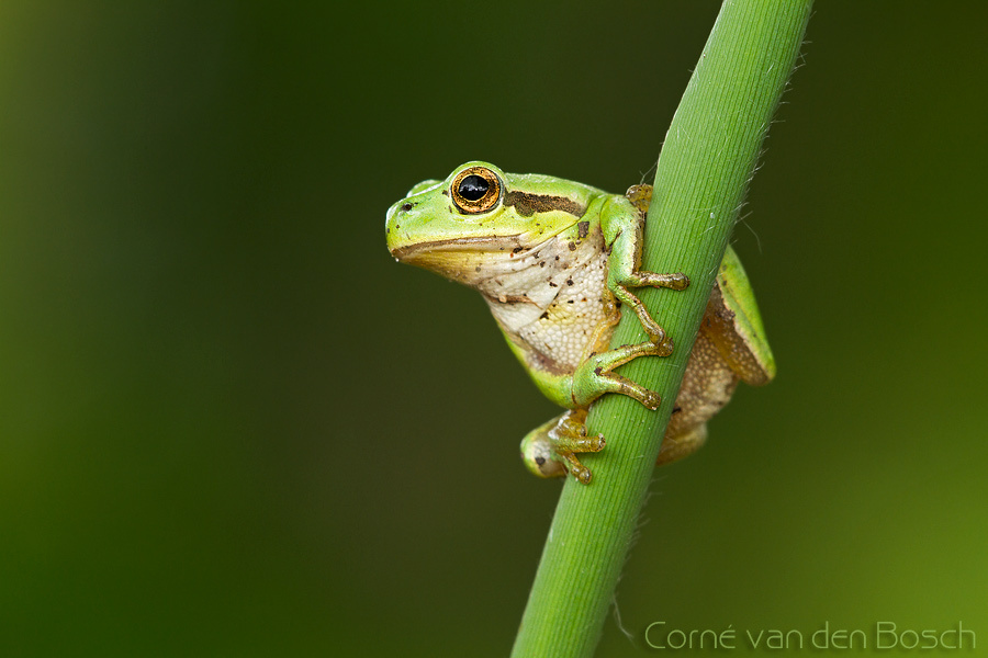 European tree frog - Boomkikker