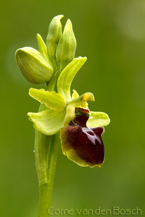 Spider orchid - Spinnenorchis