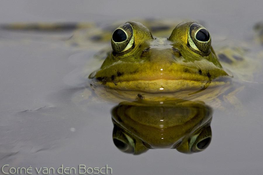 Green water frog - Groene kikker