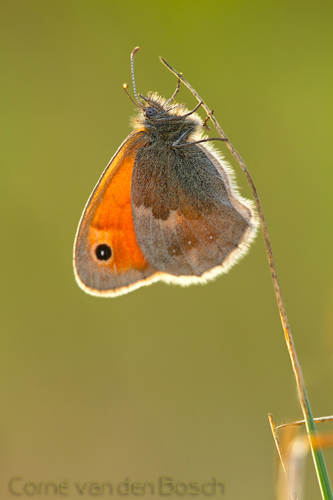 Small Heath - Hooibeestje