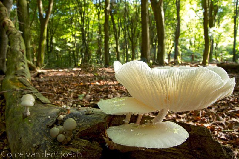 Porcelain fungus - Porseleinzwam