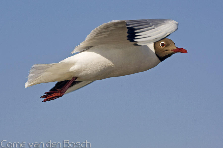 Black - headed Gull - Kokmeeuw