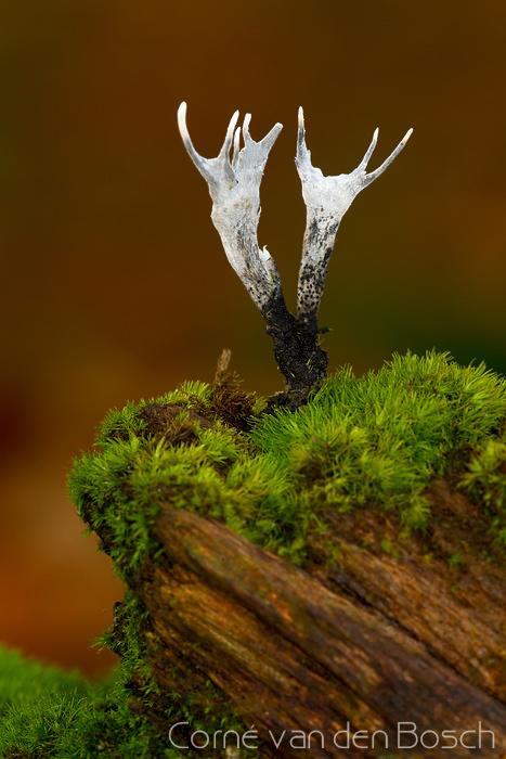 Stag's horn fungus - Geweizwam