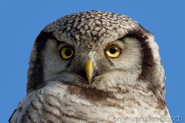 Northern hawk owl - Sperweruil