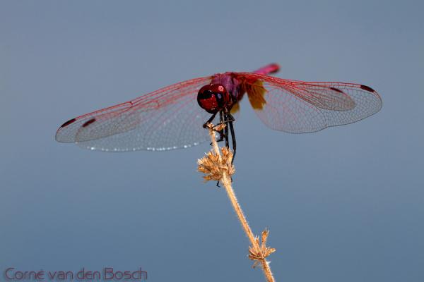 The violet dropwing - Purperlibel