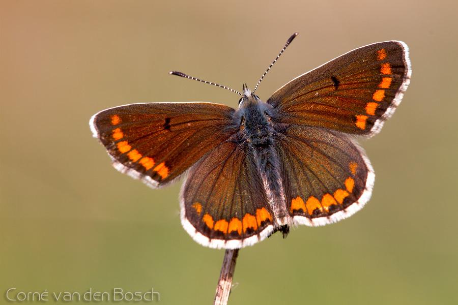 Southern brown argus - Moors bruin blauwtje