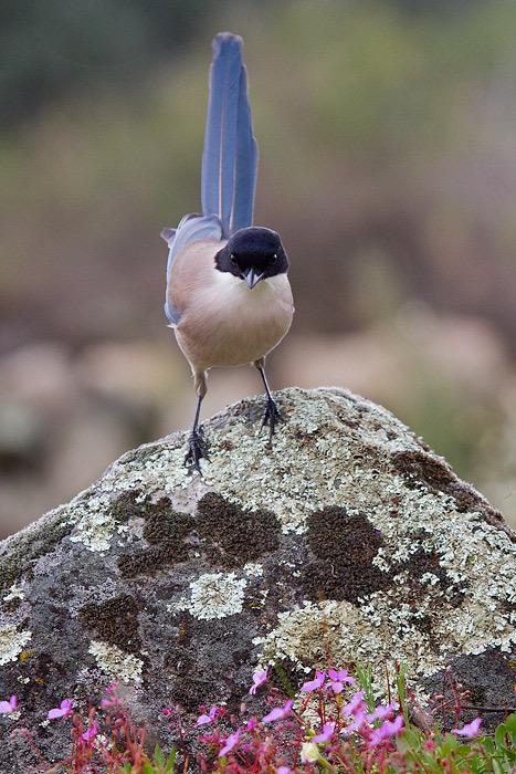 Azure winged magpie - Blauwe ekster