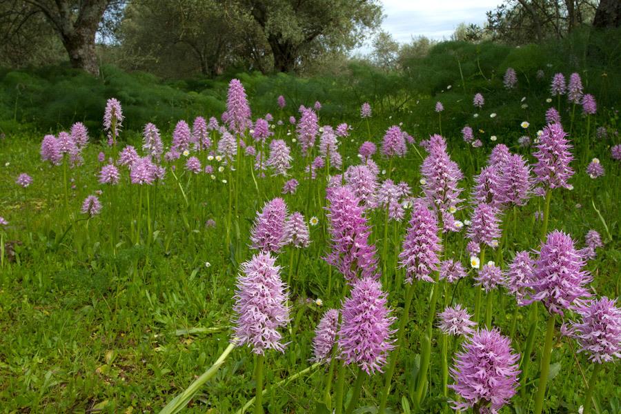 Italiaanse orchidee - Italic Orchid