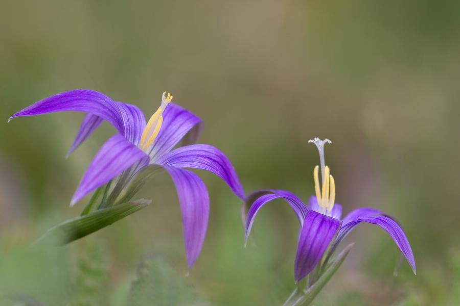 Romulea ramiflora ramiflora