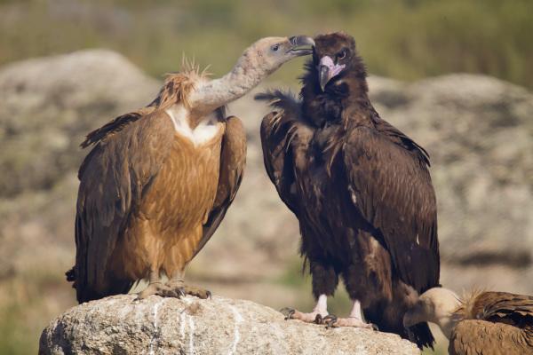 Vultures - gieren