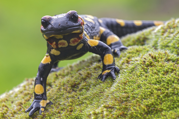 Fire salamander - Vuursalamander