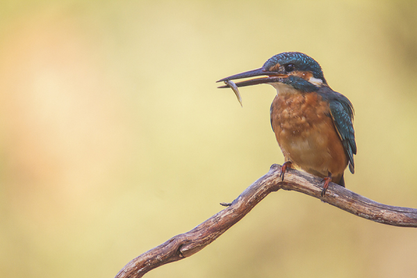 Kingfisher - Ijsvogel