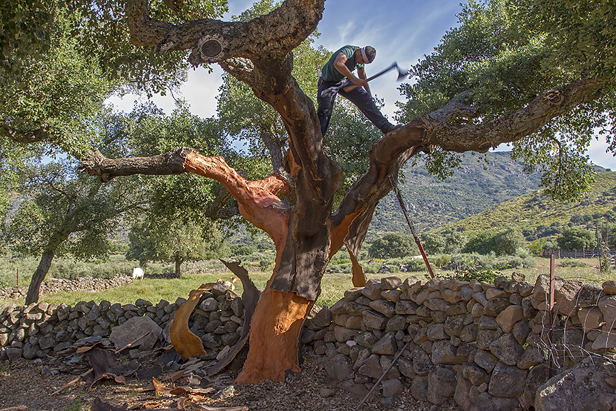 Harvesting cork - Kurkoogst