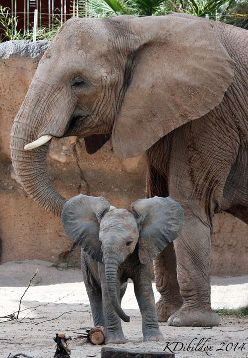 Nandi, the baby elephant