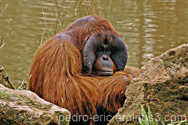 wildlife animals Orang-utan.
