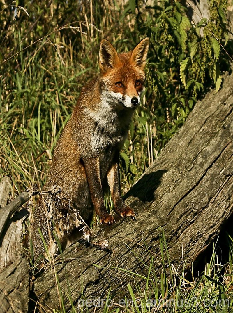 wildlife animals Fox