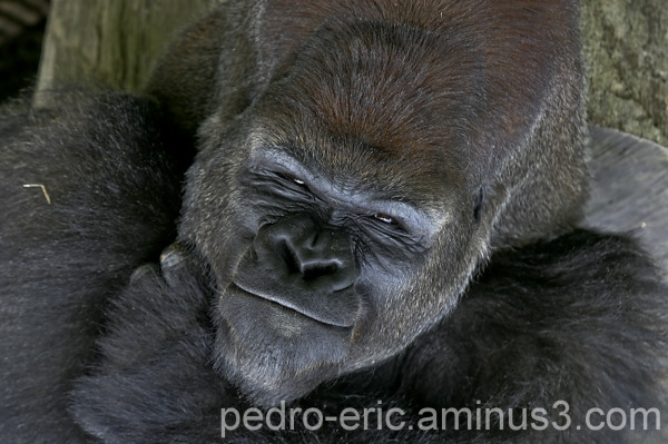 wildlife animals gorilla