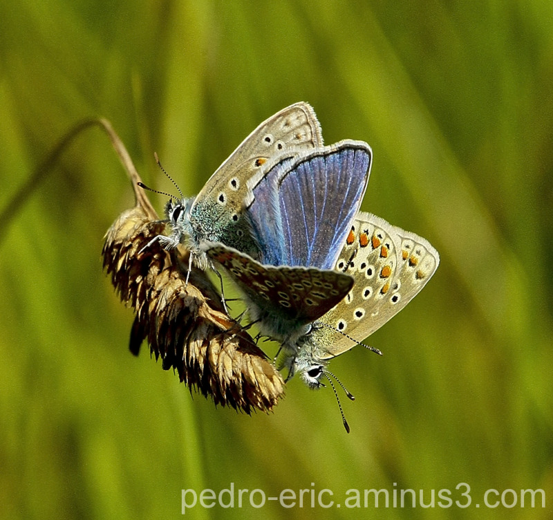 Butterfly Common-Blue