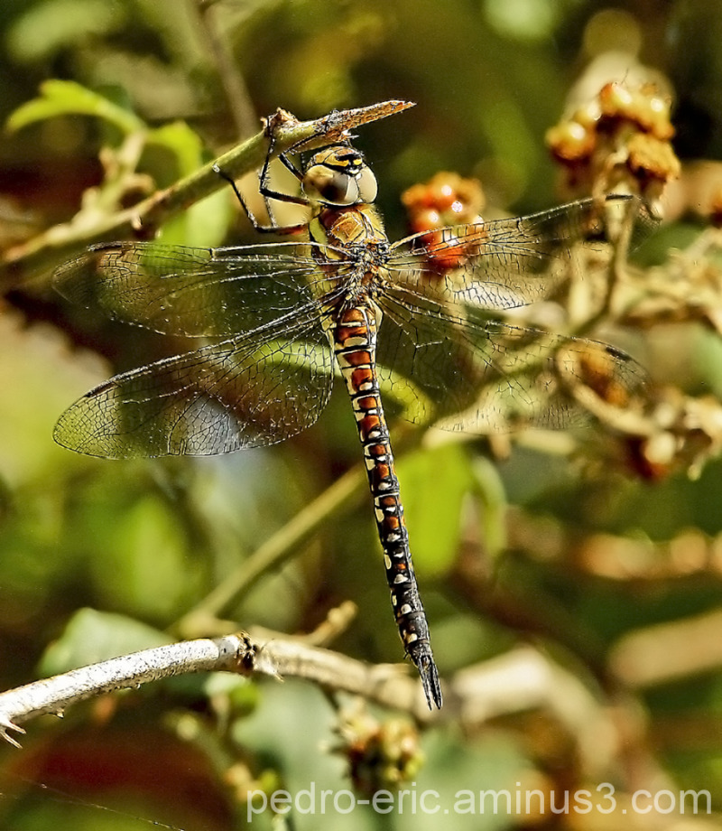 Insects dragonfly