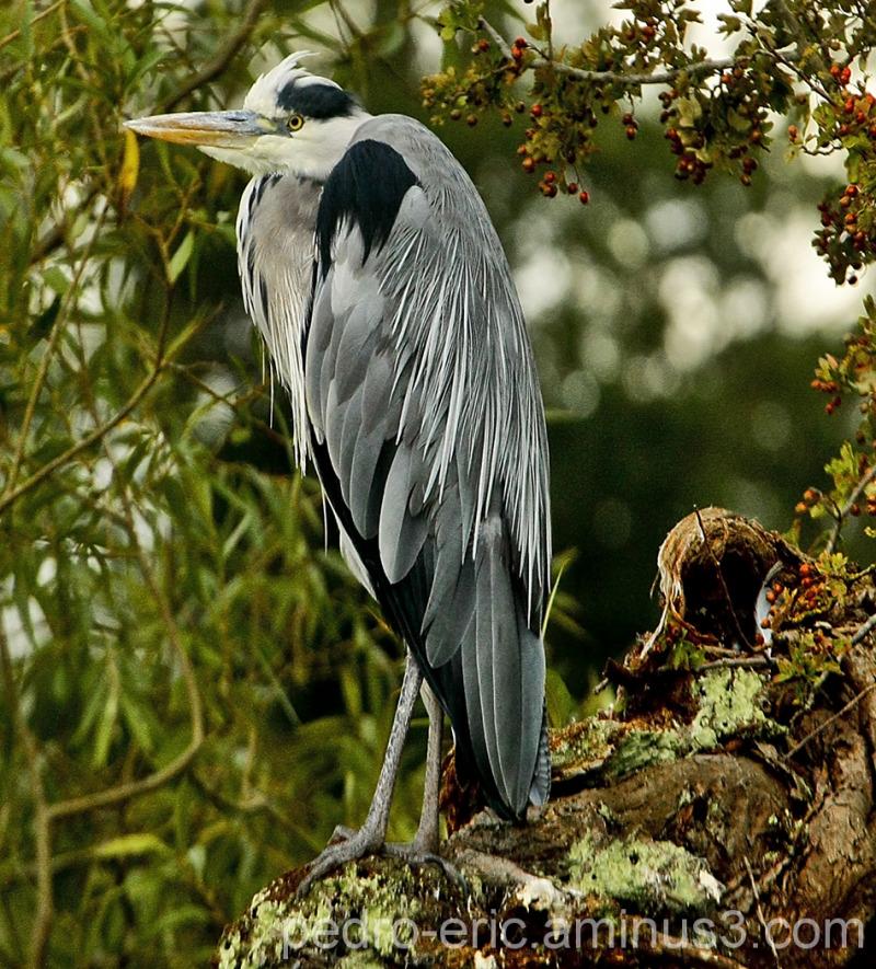 Birds Heron