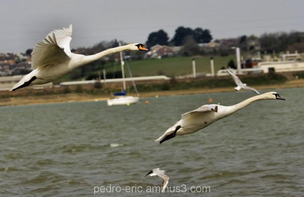 Birds Swans