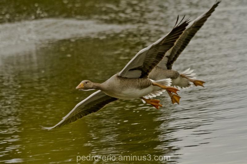 Birds geese