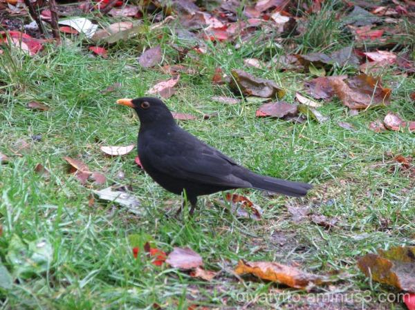 Blackbird last year 14. 11.2010