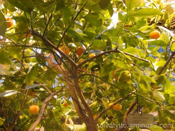 Botanic Garden mandarins!