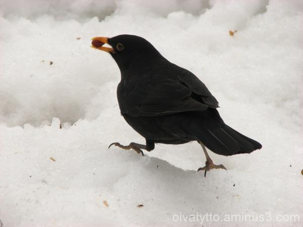 Blackbird raisin meal