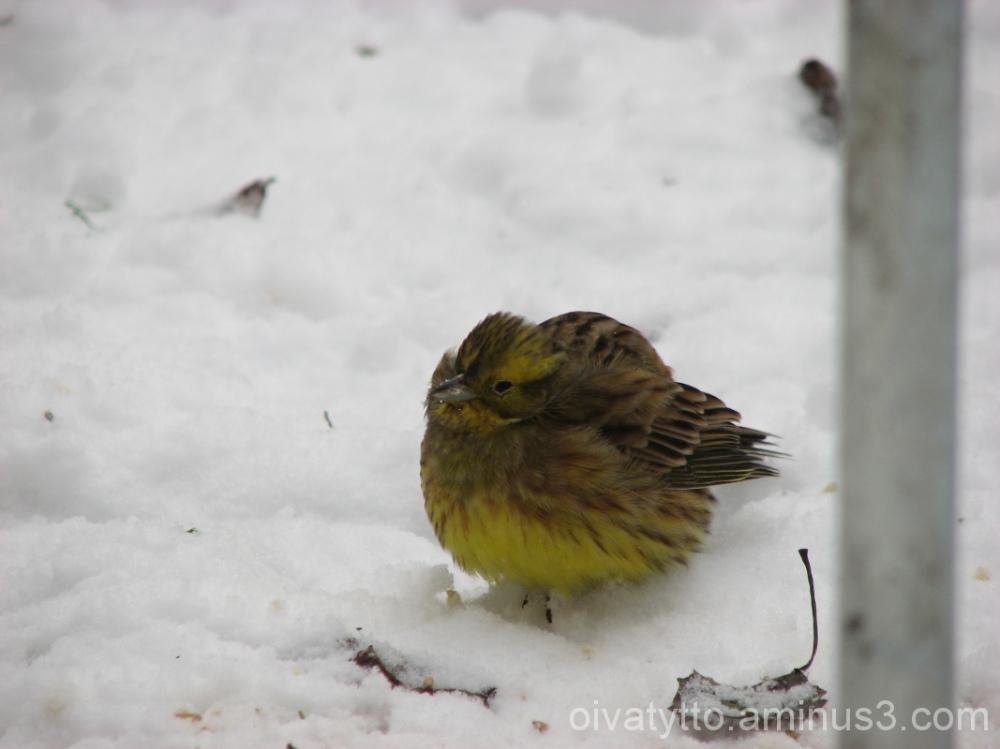 Yellowhammer/Keltasirkku